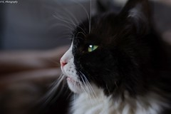 Patience (patrick.kerstin) Tags: patience calmness stillness cat pet portrait eye green soft whiskers softness lensbaby sweet35 sweet 35
