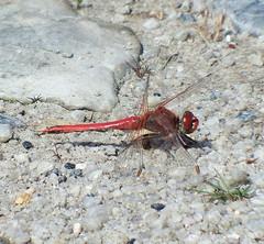 Red-veined Darter Sympetrum fonscolombii (davidcawthraw) Tags: dwt boveyheathfield devon redveineddarter sympetrumfonscolombii