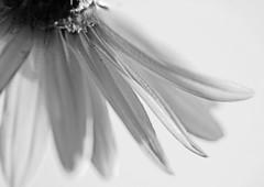 Daisy Bottoms up :-) (rdavo58) Tags: daisy macromonday hmm white flower