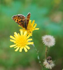DSC_8372 copy (FMAG) Tags: kpn butterfly