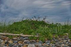 Seaside Selection (Bud in Wells, Maine) Tags: drakesisland maine wells morning summer beachroses driftwood niksoftware rocks beachgrass dunegrass