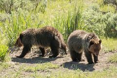 I'm outta here (ChicagoBob46) Tags: ynpmay2017grizzlybearcubs grizz grizzly grizzlybear bear cub cubs yearling yellowstone yellowstonenationalpark nature wildlife