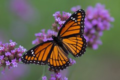 Viceroy Butterfly (Limenitis archippus) (Douglas Heusser) Tags: limenitis archippus viceroy butterfly biomimicry lepidoptera lepidoptery insect arthropod wings wing pattern canon macro photography 100mm lens nature wildlife palmyra cove nj new jersey heusser photo verbena flower pollinator pollenate