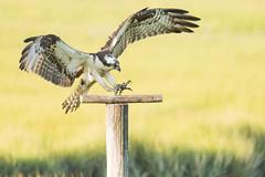 Osprey (Mark Schwall) Tags: osprey pandionhaliaetus edwinbforsythenwr flight nikon d500 nikkor200500mmafsvr nikkortc14iii markschwallphotographycom newjersey nj