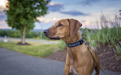 So much to see. (ASEA Photography) Tags: rhodesianridgeback rescuedogs mydog dogs