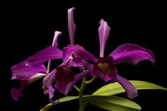 Cattleya purpurata sanguinea 'Mentzii' x self (Ramsis'07) Tags: laeliapurpuratasanguineamentziixself red green orchid flower species form south america laelia