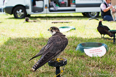 DSC_8778 (fjaphotography.co.uk) Tags: birds birdsofprrey daresbury steam england unitedkingdom gb