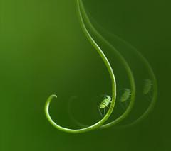 micro Tarzan (marianna_a.) Tags: aphid green vine sweetpea motion blur hss p1430507 mariannaarmata
