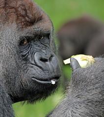 Bokito Blijdorp JN6A9040 (joankok) Tags: gorilla bokito blijdorp westelijkelaaglandgorilla westernlowlandgorilla laaglandgorilla lowlandgorilla aap ape monkey mensaap africa afrika zoogdier dier animal zilverrug silverback