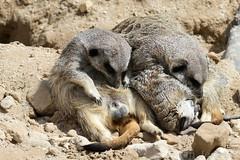 Meerkats Sleeping (Bri_J) Tags: tropicalbutterflyhouse northanston sheffield southyorkshire uk yorkshire nikon d7200 meerkat sleep suricatasuricatta