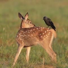 Jackback (Hammerchewer) Tags: reddeer deer fawn jackdaw bird wildlife outdoor animal