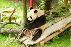 IMG_0435.jpg (wfvanvalkenburg) Tags: ouwehandsdierenpark panda familie