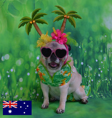 Bailey Puggins Visits Australia (DaPuglet) Tags: pug pugs dog dogs pet pets animal animals australia friends trip fun costume bikini coth sunrays5 coth5 halloween