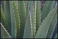 Agave #34 2017; Tohono Chul (hamsiksa) Tags: abstract leaves spines plants flora vegetation succulents xerophytes desertplants sonorandesert agavaceae agave arizona tucson stilllife