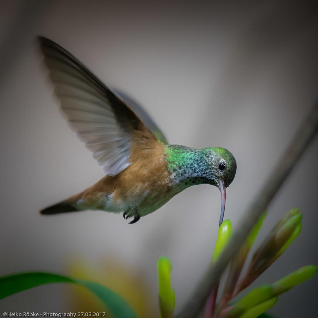 the world 39 s best photos of kolibri and vogel flickr hive mind. Black Bedroom Furniture Sets. Home Design Ideas