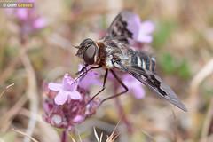 Mottled bee-fly thyme II (Dom Greves) Tags: dorset heathland insect invertebrate june mottledbeefly purbeck summer thyridanthraxfenestratus uk wildlife nectaring feeding behaviour
