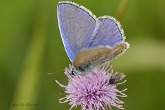 Icarusblauwtje (Agnes Van Parijs) Tags: icarusblauwtje vlinder papillon butterfly zomer belgium insect macro polyommatusicarus page derhauhechelbläuling
