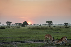Sparring at sunrise (tmeallen) Tags: impala aepycerosmelampus wild wildlife fighting sparring sunrise dawn savanna greengrass rainyseason trees mists antelope grumetigamereserve serengeti tanzania eastafrica tracks clouds