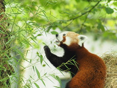 lunch time (dream/imagination) Tags: red panda firefox germany shallow field depth olympus omd em10 micro four thirds mirrorless smc pentaxa 70210mm f4 focus manual zoo krefeld vintage lens cute