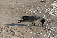 Nebelkrähe (julia_HalleFotoFan) Tags: rügen ostsee nebelkrähe aaskrähe corvuscorone rabenvogel