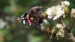 Red Admiral (Nick:Wood) Tags: butterfly insect nature wildlife redadmiral vanessaatalanta knowle solihull