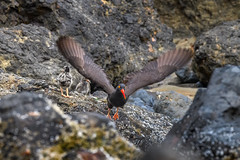 Male Black Oystercatcher (Haematopus bachmani) taking off again in search of food after feeding two of his three 11-day-old chicks, Haystack Rock, Cannon Beach, Oregon (diana_robinson) Tags: haematopusbachmani maleblackoystercatcher oystercatcher birdinflight 11dayoldchicks haystackrock cannonbeach oregon chicks birds shorebirds