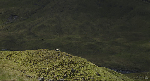 Sheep (singular)