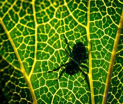 Deadly shadow (SamppaV) Tags: spider shadow leaf vein sunlight silhouette insect macro canon6d palsta kartanonhaanviljelypalsta lehti texture macromondays
