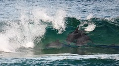 Play time at Palm Beach (andrewdavis15) Tags: pitwater dolphinsinwaves palmbeachsydney dolphins northernbeaches