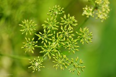 Parsley (Zsofia Nagy) Tags: flickrlounge weeklytheme nature pattern plant parsley green depthoffield d3100 dof