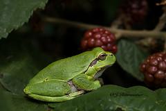Boomkikker (jeannette.dejong) Tags: limburg groen rood bruin boomkikker braamstruik