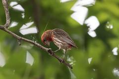 Backyard Visitor (norasphotos4u) Tags: birds canonef100400f4556iiusm flickr canon7dmkii social finch ©noraleonard