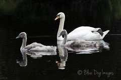 Cygnets and Swan (Blue Dog Images) Tags: cygnets norfolk canon pond reflections 7dmarkii