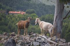 cabrillas (PrimiFer) Tags: cabra monte eucalipto verde campo piedras goat mount eucalyptus green field stones nikkor 80200aisf4 nikon d610