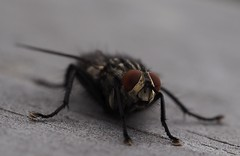 The Fly (michaelmueller410) Tags: fly fliege insekt insect macro makro closeup grau gestreift augen rot