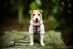 Posing in the Forest (moaan) Tags: kobe hyogo japan jp dog jackrussellterrier portrait dogportrait smile smilimg cameraeye mtrokko forest foresttherapy dof bokeh bokehphotography utata 2017 leica mp leicamp type240 noctilux 50mm f10 leicanoctilux50mmf10
