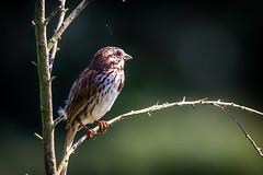 sparrow (david_sharo) Tags: nature wildlife moraine pennsylvania