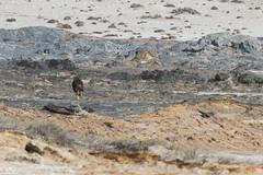 'Strandwolf' in action (Pim Stouten) Tags: hyena bruinehyena brownhyena strandwolf hyaenabrunnea parahyaenabrunnea schabrackenhyäne