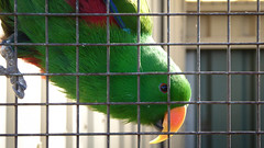 Polite Parrot (Theen ...) Tags: australian cage clear electus green hobart lumix male native orange parrot polite red speech spoken sweet talking theen vocabulary words zoo zoodoo