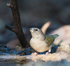 Gouldian Finch at Wyndham_3829 (Jen Crowley Photography) Tags: gouldian bird finch gouldianfinch juvenile wyndham wa westernaustralia australia nikon erythruragouldiae erythrura gouldiae