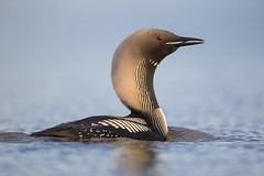 Flared Neck Pacific Loon (Jeff Dyck) Tags: pacific loon pacificloon gaviapacifica neck flare hackles churchill manitoba birds jeffdyck pacificdiver diver