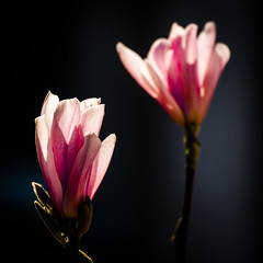 back lighted magnolia (JayPiDee) Tags: baum bigma blüte gegenlicht magnolia magnolie sigmadg50500mm4563apohsm backlight backlit blossom contrejourshot tree arnsberg nordrheinwestfalen deutschland