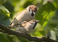 Summer love (hedera.baltica) Tags: sparrow treesparrow eurasiantreesparrow wróbel mazurek wróbelmazurek passermontanus sparrows mazurki mating