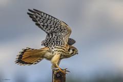 American Kestrel / Crécerelle d'Amérique (shimmer5641) Tags: falcosparverius americankestrel crécerelledamérique falcon birdofprey birdsofbritishcolumbia birdsofnorthamerica raptor