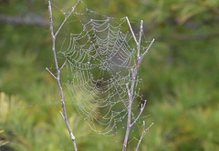 Morning Dew Decorated Spiders Web (TheNovaScotian1991) Tags: morningdew morninglight morning victoriapark reservoirtrail colchestercounty nikond3200 afsdxnikkor55200mmf456gedvrii canada novascotia spiderwebs bokeh trees truro