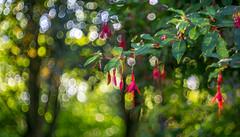 Playing with bubbles... (- A N D R E W -) Tags: meyeroptik görlitz domiplan 50mm f28 vintage lens alpha a6000 sony mirrorless fuchsia flower plant shrub dof depth bokeh bubble soap