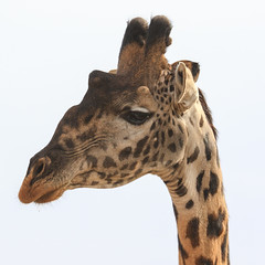 A First Non-Binding Look ... (AnyMotion) Tags: mondayface giraffe giraffacamelopardalis portrait porträt 2015 anymotion serengetinationalpark tanzania africa afrika animal animals tiere nature reisen travel wildlife portraitaufnahmen square 1600x1600 ngc npc