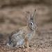 Eastern Cottontail (Turk Images) Tags: easterncottontail gilbertriparianreserve sylvilagusfloridanus urbanpark urbanwetland arizona gilbert leporidae mammals spring