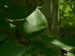 American Beech (Dendroica cerulea) Tags: americanbeech fagusgrandifolia fagus fagaceae fagales tree leaves branch forest beech summer rutgersecologicalpreserve livingstoncampus rutgersuniversity middlesexcounty nj newjersey