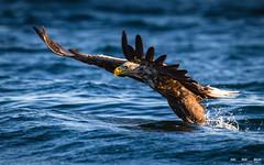 Havørn-8371 (jarud) Tags: 2017 eagle fugl havørn naturopplevelser norge norway smøla whitetailed ørn